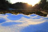 広町緑地の雪ほたる