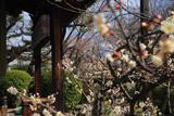 本満寺 白梅と七面堂