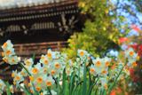正林寺 水仙と山門