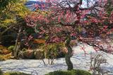龍雲寺 庭園の紅梅