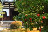 海宝寺 ツバキと仏殿