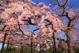 妙行寺のしだれ桜