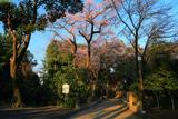 仙波東照宮の信綱桜