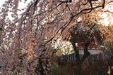 喜多院のしだれ桜