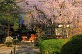 川越市 中院のしだれ桜