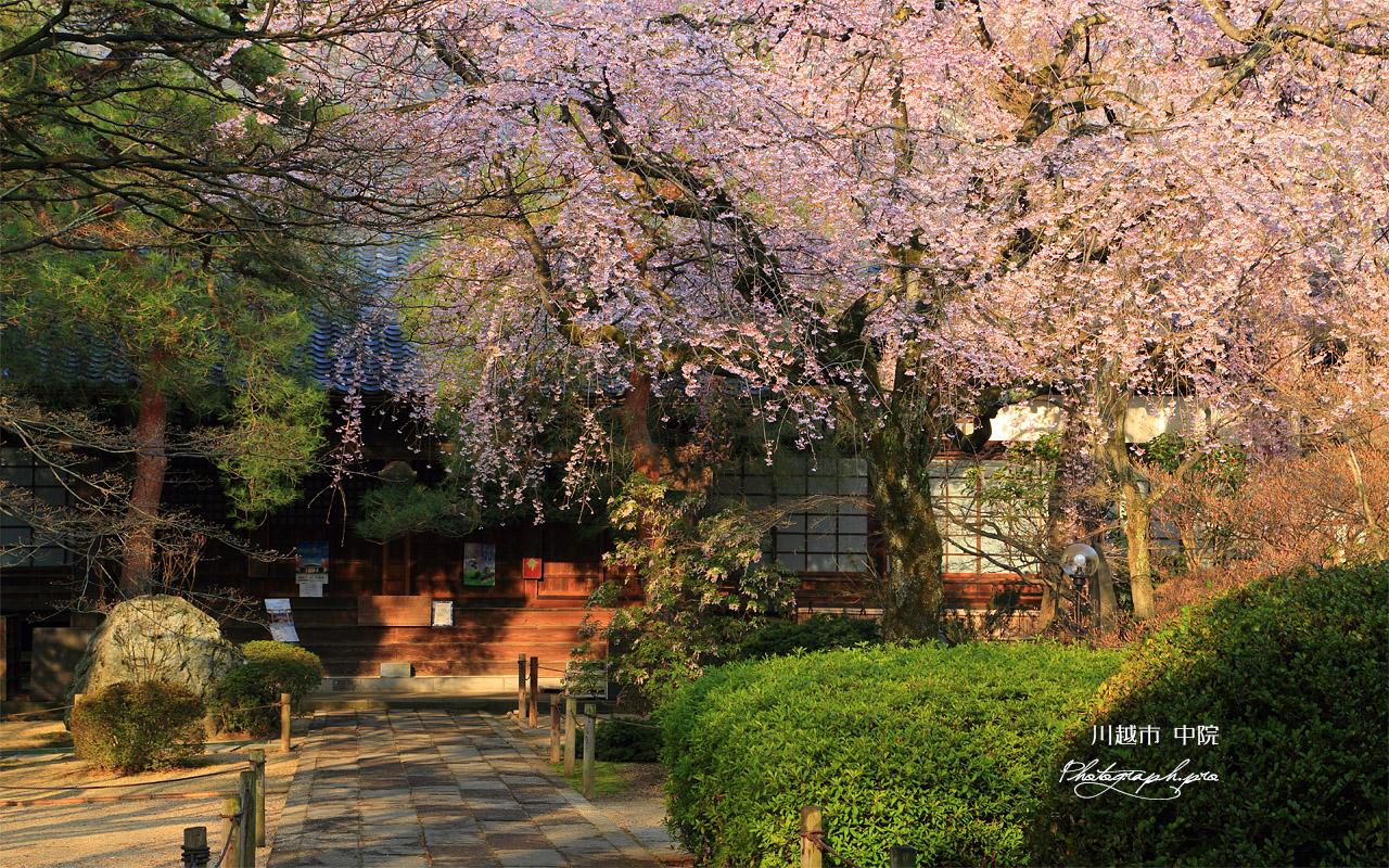 川越市 中院のしだれ桜 壁紙