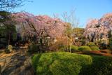 川越市 中院の枝垂桜