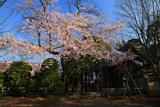 川越市 中院の江戸彼岸桜