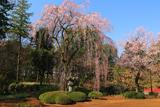 喜多院の徳川家光公御手植桜