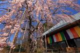 埼玉県の桜