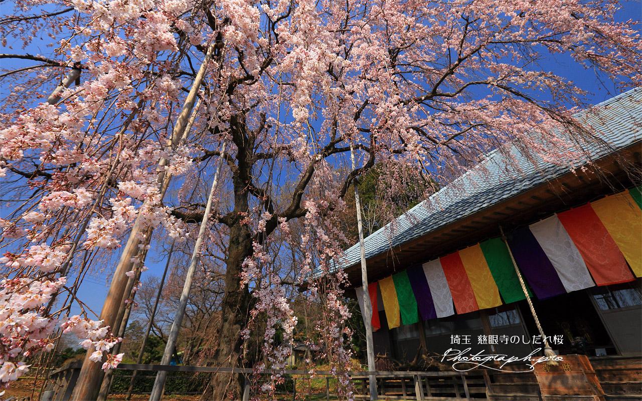 慈眼寺のしだれ桜 壁紙