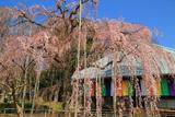 慈眼寺の枝垂れ桜