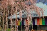 慈眼寺のシダレザクラ