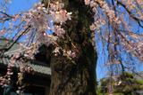 栄林寺の枝垂桜