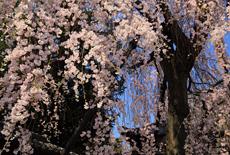 明見院のしだれ桜