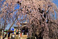 地蔵院のしだれ桜