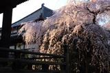 玉蔵院のしだれ桜