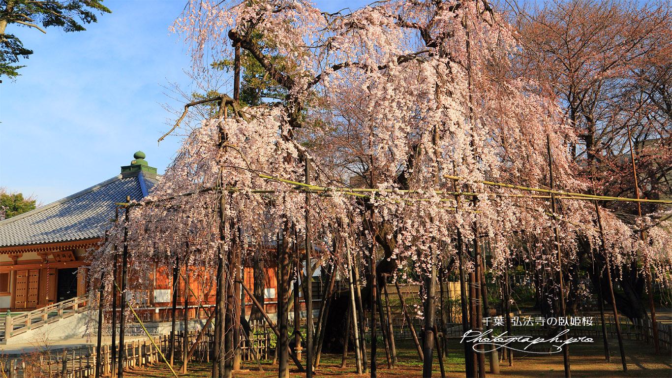 弘法寺の伏姫桜 壁紙