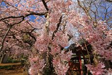 願成就寺の枝垂桜