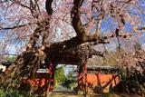 願成就寺のしだれ桜