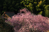 東金市 願成就寺の紅枝垂桜