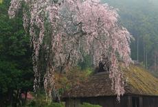 高麗神社の桜