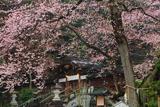 高麗神社のヒガンザクラ