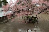 高麗神社のひがん桜