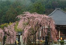 霊巌寺のシダレザクラ