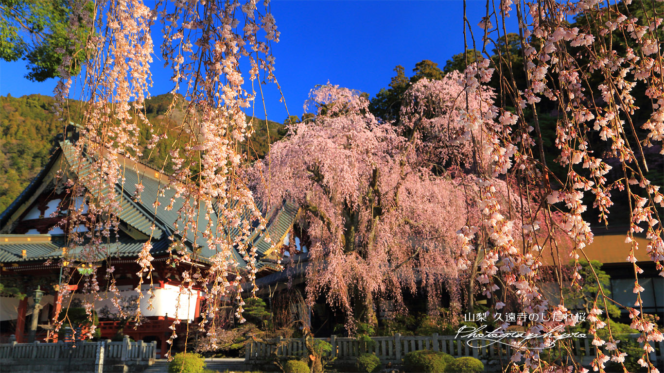 久遠寺のしだれ桜 壁紙