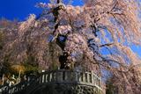 円実寺のしだれ桜
