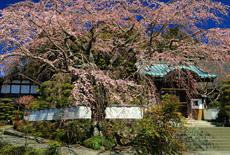内船寺のしだれ桜