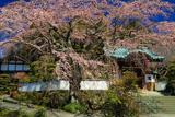 内船寺のサクラ