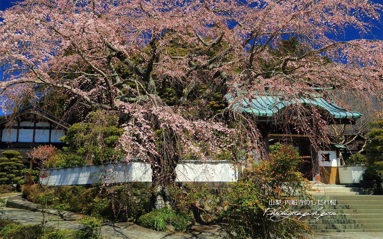 内船寺のしだれ桜 壁紙