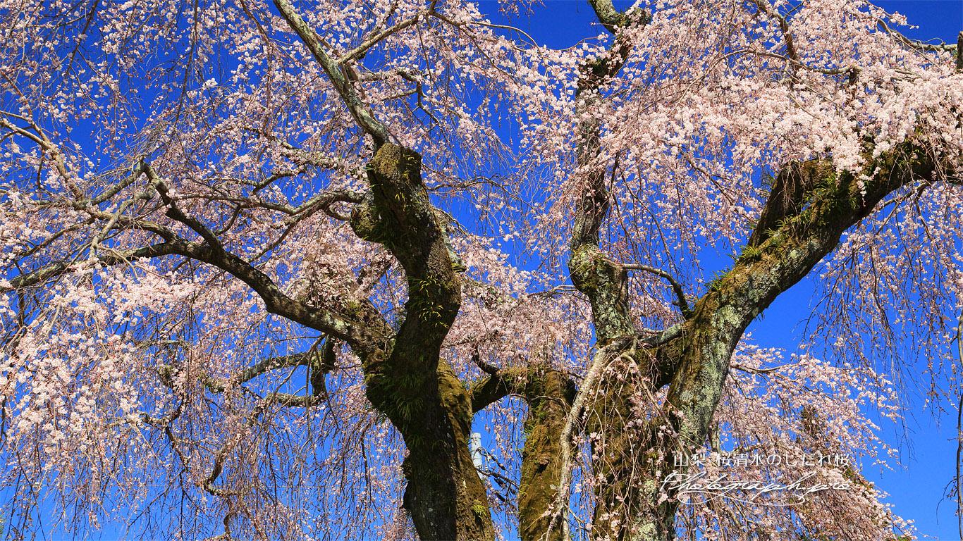 桜清水のしだれ桜 壁紙