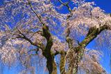 桜清水のしだれ桜