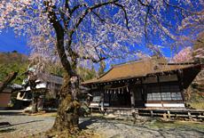 感応寺のしだれ桜