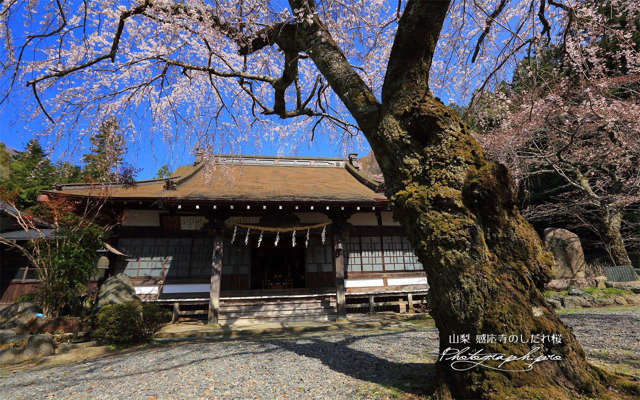 感応寺のしだれ桜 壁紙