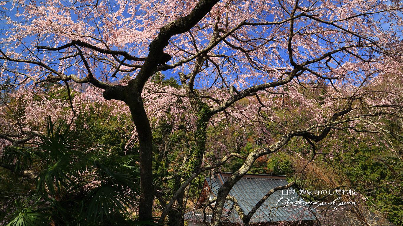 妙泉寺のしだれ桜 壁紙