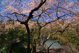 妙泉寺のしだれ桜