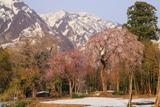 善正寺の枝垂れ桜