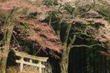 無数原の山桜