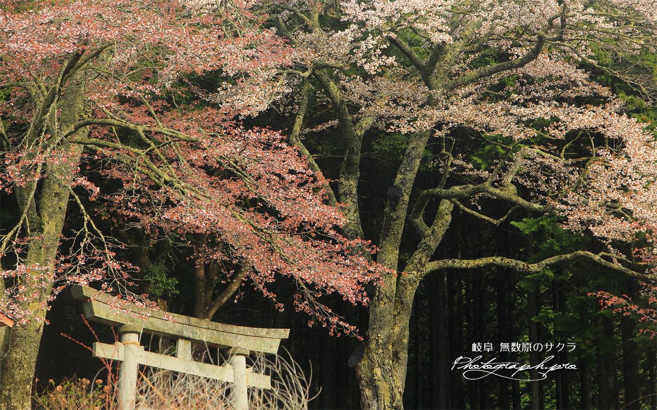 無数原の山桜 壁紙