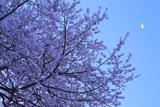 臥龍桜 龍鱗の月