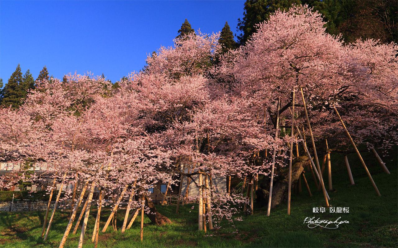 臥龍桜 壁紙