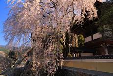 浄福寺のしだれサクラ