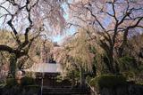 賢誓寺のしだれ桜