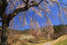 南ひだ健康道場のしだれ桜