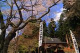 貴船神社の桜