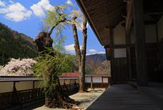 桂林寺のサクラ